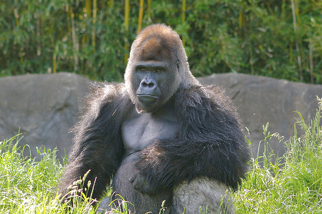HP Big Gorilla