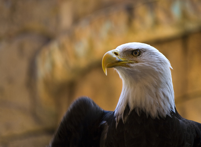 Bald Eagle 3D Printed Beak
